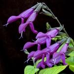 plant Salvia purple majesty