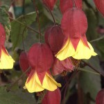 floral abutilon meg sunset